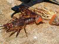 Crayfish - rock lobster